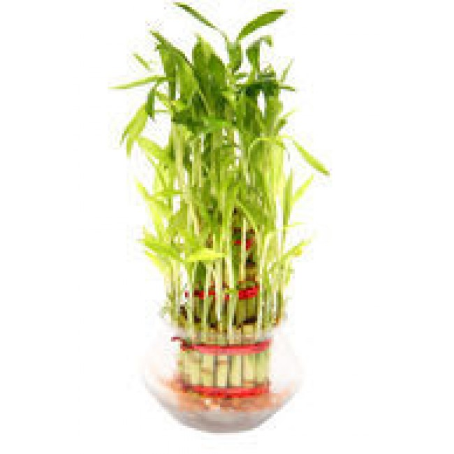 Bamboo Plant 2 Layer