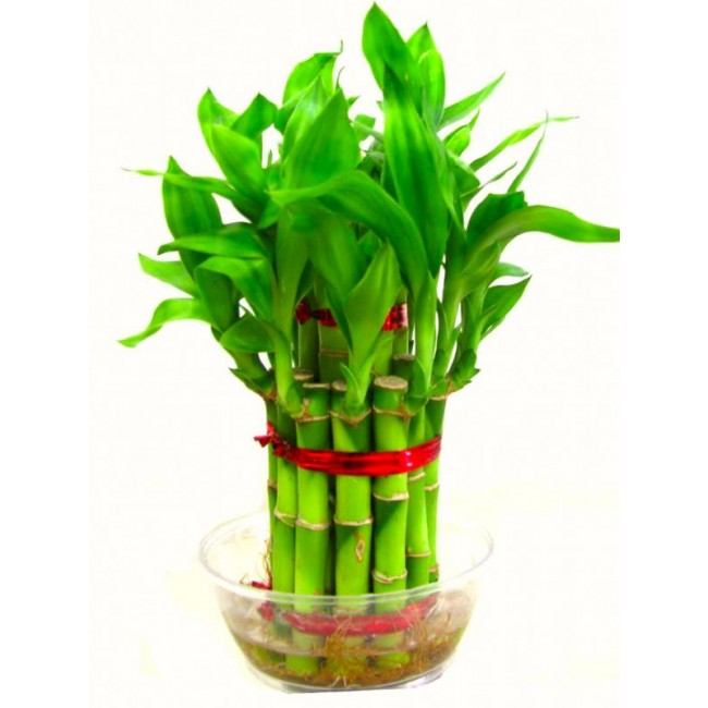 Bamboo Plant 3 Layer